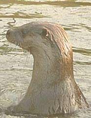 Otter in the loch